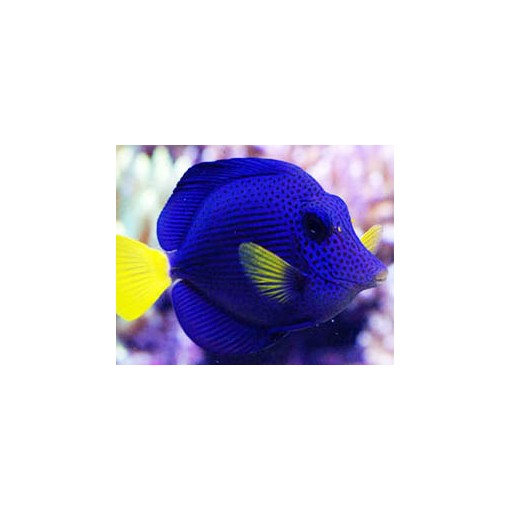 Zebrasoma Xanthurum para acuario marino | Barcelona Reef