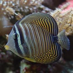 Zebrasoma Desjardinii L