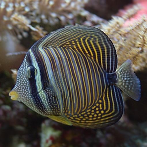 Zebrasoma Desjardinii M para acuario marino | Barcelona Reef