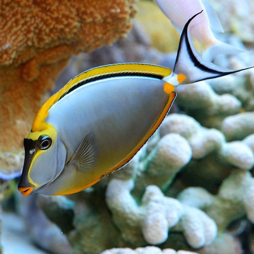 Naso Elegans M para acuario marino   Barcelona Reef