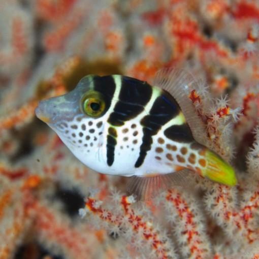 Paraluteres Prionorus SM para acuario marino | Barcelona Reef