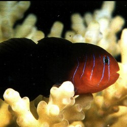 Gobiodon Quinquestrigatus para acuario marino | Barcelona Reef