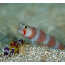 Amblyeleotris Aurora para acuario marino | Barcelona Reef