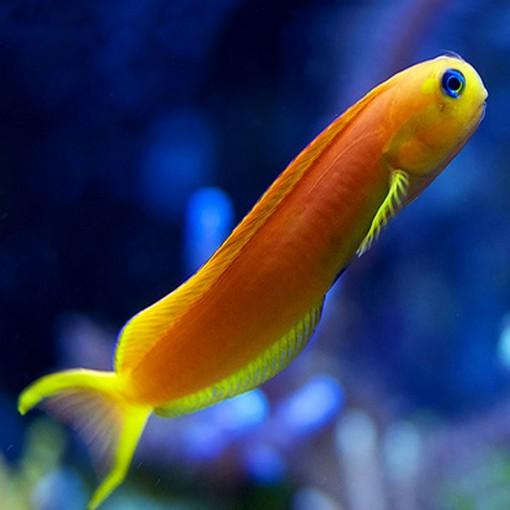 Ecsenius Midas para acuario marino | Barcelona Reef