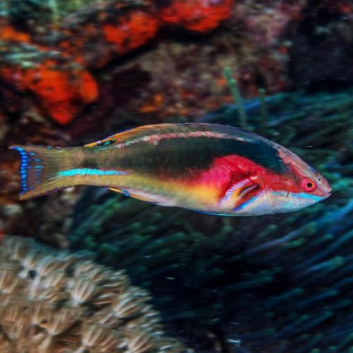 Cirrhilabrus Exquisitus para acuario marino | Barcelona Reef
