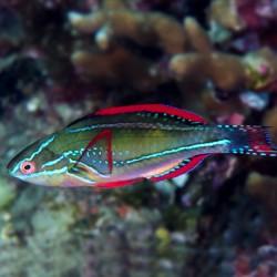 Cirrhilabrus Exquisitus para acuario marino   Barcelona Reef