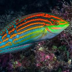 Halichoeres Cosmetus para acuario marino   Barcelona Reef