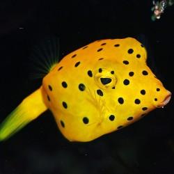 Comprar Ostracion Cubicus S online en Barcelona Reef
