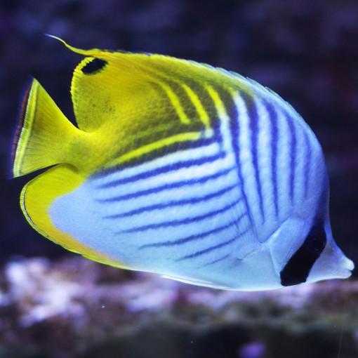 Chaetodon Auriga M para acuario marino | Barcelona Reef