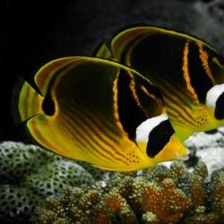 Chaetodon Lunula M para acuario marino | Barcelona Reef