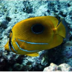 Chaetodon Bennetti ML para acuario marino | Barcelona Reef