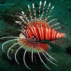Pterois Antennata M para acuario marino | Barcelona Reef
