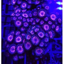 Zoanthus Abracadabra Colonia Premium (+15 polipos)