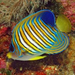 Comprar Pygoplites Diacanthus XL Indonesia online en Barcelona Reef