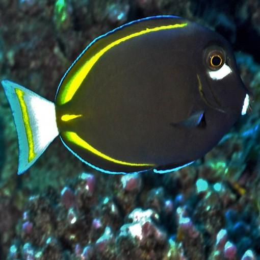 Acanthurus Nigricans M para acuario marino | Barcelona Reef