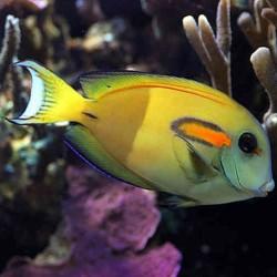 Acanthurus Olivaceus ML para acuario marino | Barcelona Reef