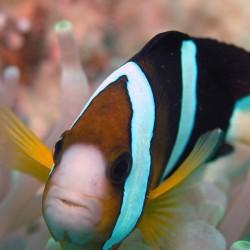Amphiprion Clarkii Salvaje para acuario marino | Barcelona Reef