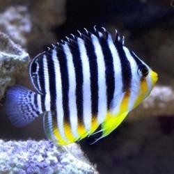 Paracentropyge Multifasciata para acuario marino   Barcelona Reef