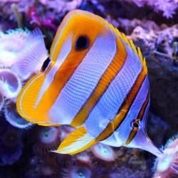 Comprar copy of Chaetodon Collare online en Barcelona Reef