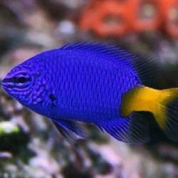 Chrysiptera Parasema para acuario marino   Barcelona Reef