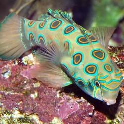 Synchiropus Picturatus para acuario marino | Barcelona Reef