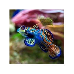 copy of Synchiropus Splendidus para acuario marino | Barcelona Reef