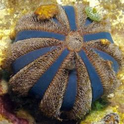 Comprar Mespilliaglobulus online en Barcelona Reef