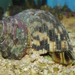 Comprar Turbo Fluctuosa XXL online en Barcelona Reef