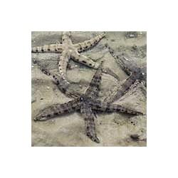 Archaster Typicus para acuario marino   Barcelona Reef