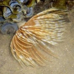 Comprar Sabellastarte Indica Brown online en Barcelona Reef