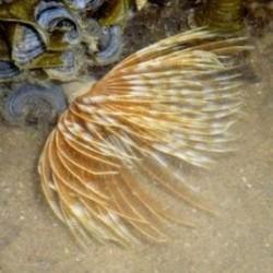 Sabellastarte Indica Brown para acuario marino   Barcelona Reef