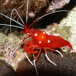 Lysmata Debelius para acuario marino   Barcelona Reef