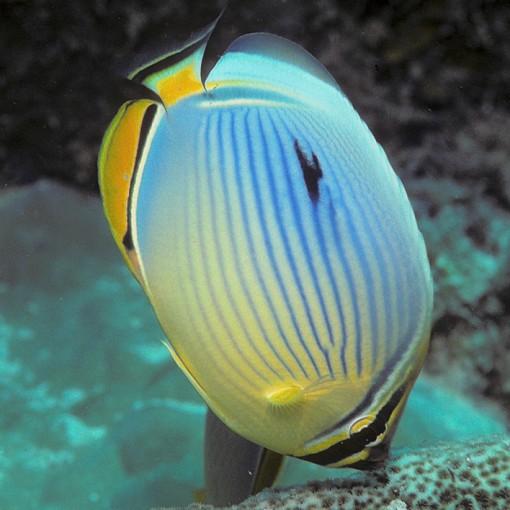 copy of Chaetodon Lunula M para acuario marino | Barcelona Reef