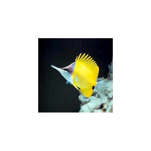 Forcipiger Flavissimus L para acuario marino | Barcelona Reef