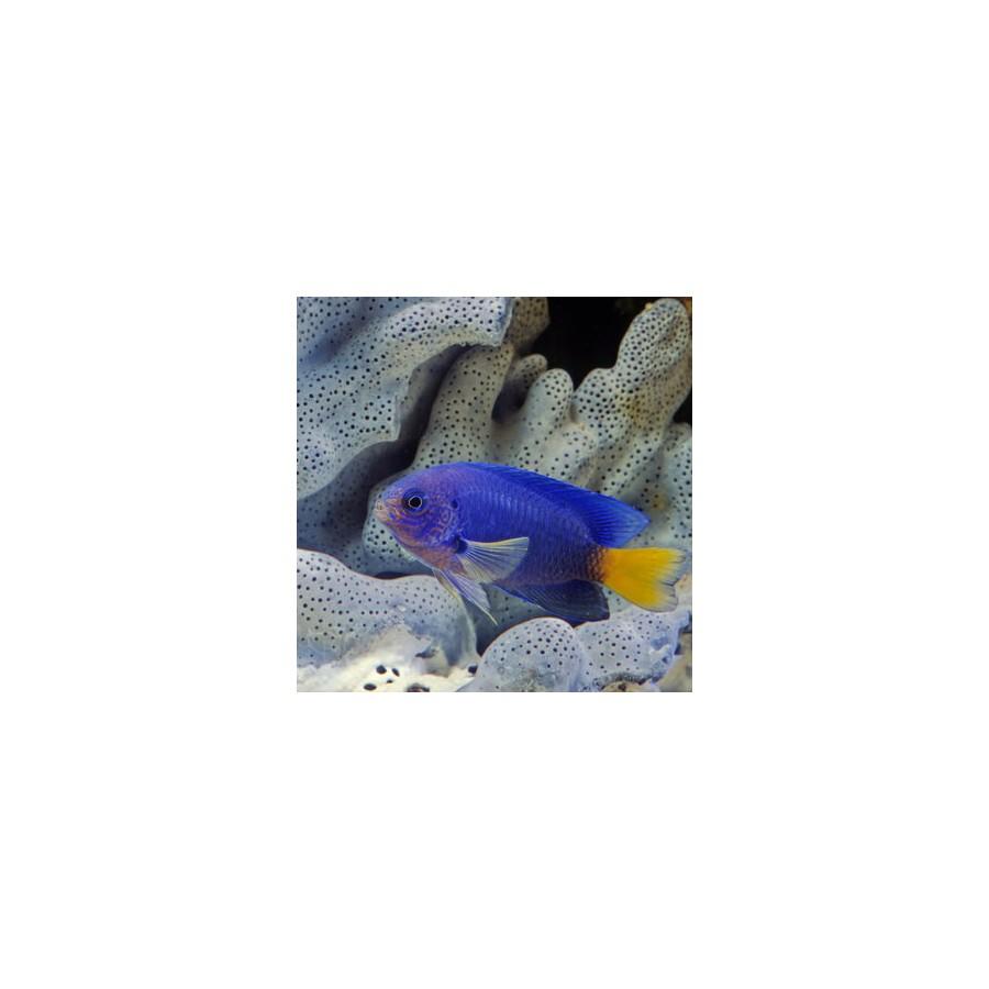 Pomacentrus  Caeruleus