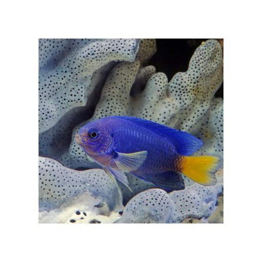 Pomacentrus  Caeruleus para acuario marino | Barcelona Reef