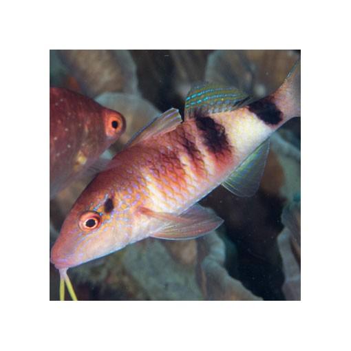 Parupeneus SP para acuario marino | Barcelona Reef
