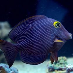Ctenochaetus Strigosus para acuario marino | Barcelona Reef