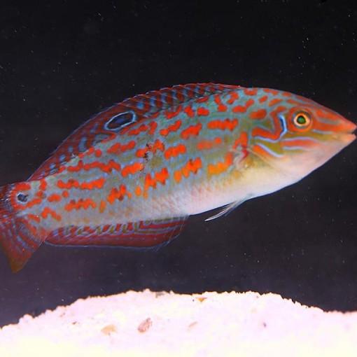 copy of Halichoeres Chrysus para acuario marino   Barcelona Reef