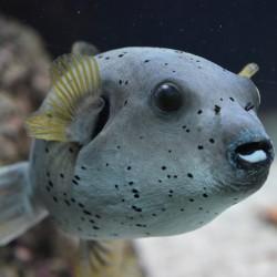 copy of Zebrasoma Xanthurum para acuario marino   Barcelona Reef