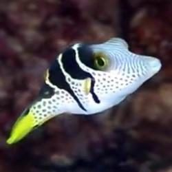 copy of Zebrasoma Xanthurum para acuario marino | Barcelona Reef