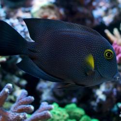 Ctenochaetus Truncatus para acuario marino   Barcelona Reef