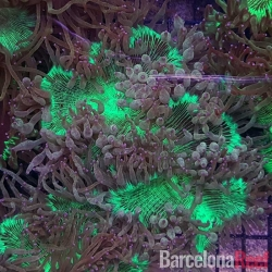 Comprar Catalaphyllia Jardinei online en Barcelona Reef
