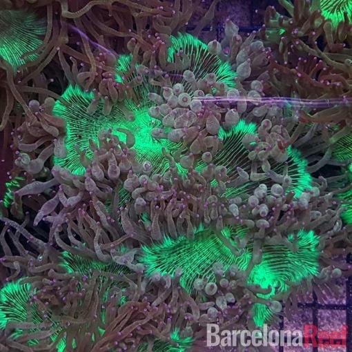 Catalaphyllia Jardinei para acuario marino | Barcelona Reef