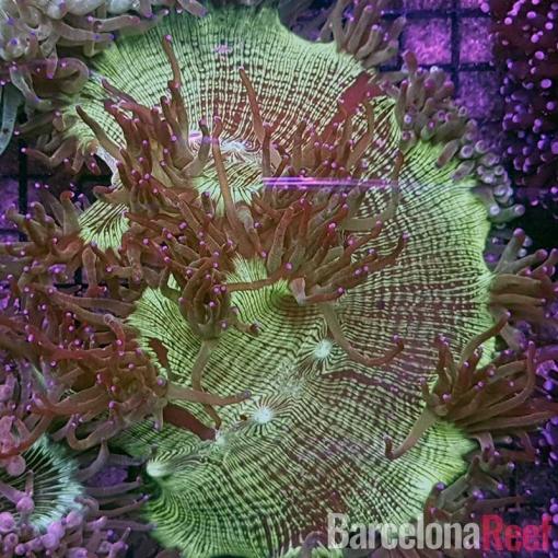 Catalaphyllia Jardinei Pink Tips para acuario marino | Barcelona Reef