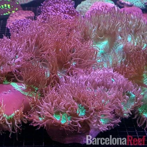 Catalaphyllia Jardinei Pink Tips para acuario marino   Barcelona Reef