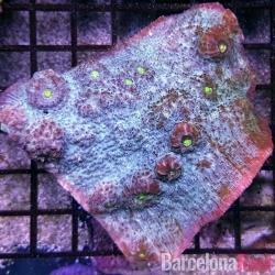 Echinophyllia para acuario marino | Barcelona Reef
