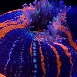 Corales LPS