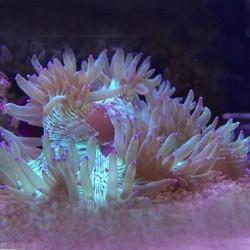 Catalaphyllia