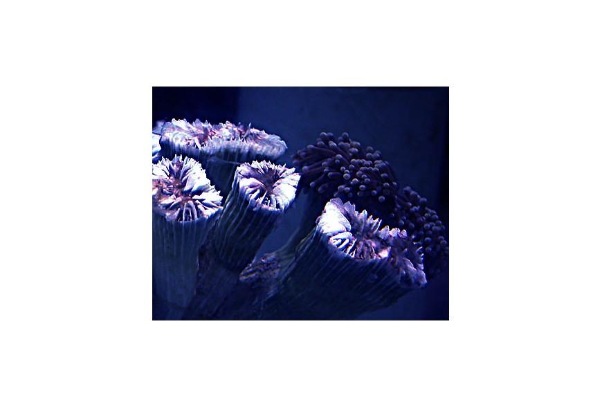 ¿Por qué se muere mi coral?